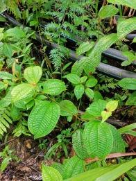 durmayan kanama olması durumunda bu bitkinin yapraklarını ezip kanamaya bastırınca duruyormuş