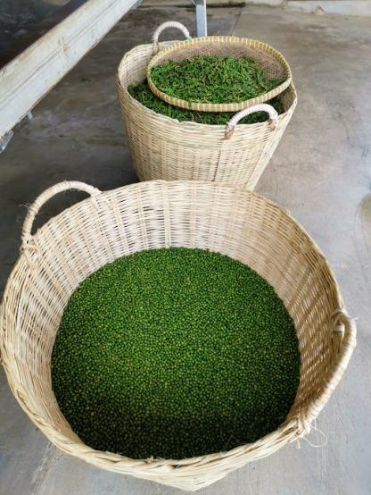 yeni toplanmış yeşil biberler