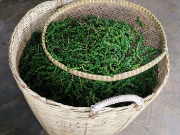 toplanmış yeşil biberler,