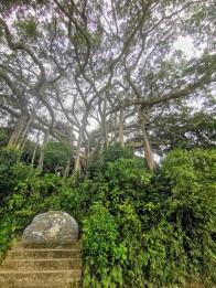800 yıllık Banyan Ağacı