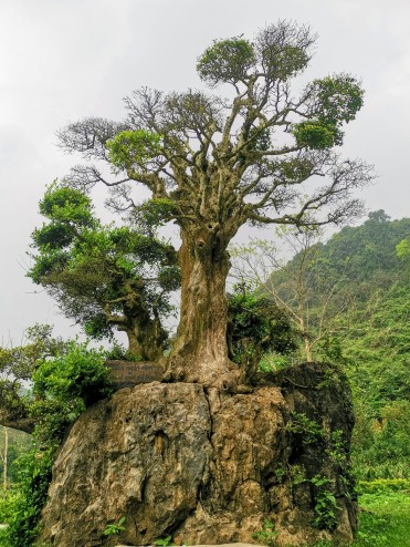 Bin Yıllık Ağaç(A Thousand Year Old Tree)