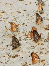 muhteşem kelebekler